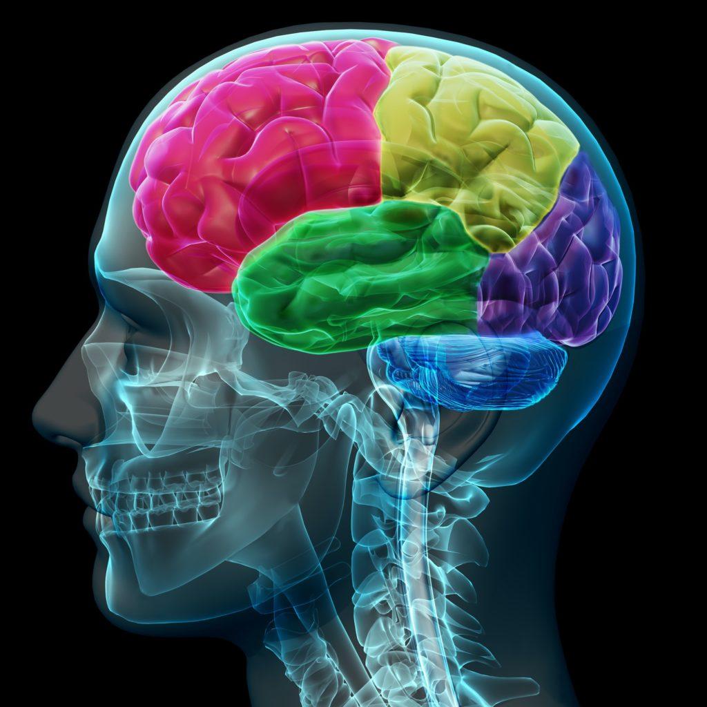 cerveau humain en couleurs